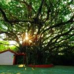 百年榕樹1